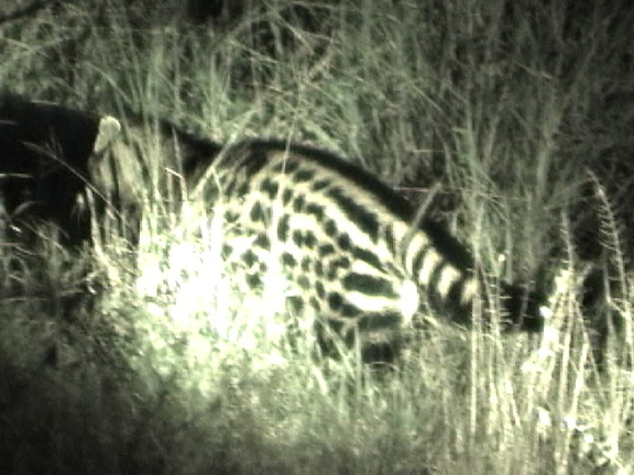 A civet is not really a cat, but rather is in the mongoose family. Captured from video.