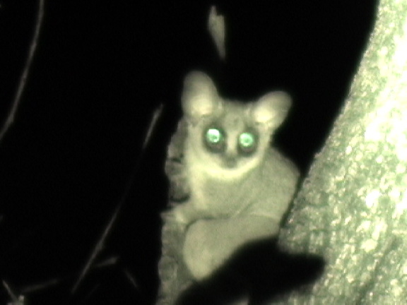 Bushbaby legs are so long they cannot walk, but hop like a rabbit. Captured from video.