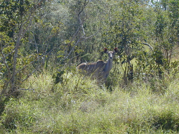 "Our first ""big"" animal sighting... this is a very cooperative female kudu seen on our ride into the park."