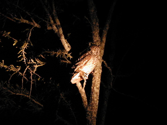Spotted eagle owl. Very lucky to see this, even luckier to get it on film.