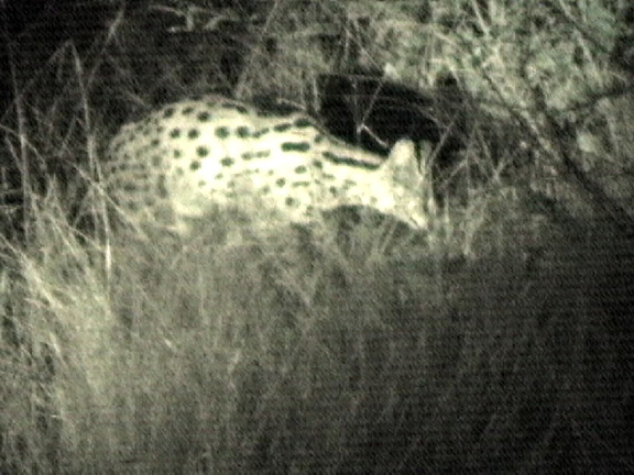 It is very rare to see serval, a member of the cat family. Captured from video.