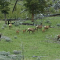 "a huge gang of elk (yep, a ""gang"" is what you call a bunch of elk)"